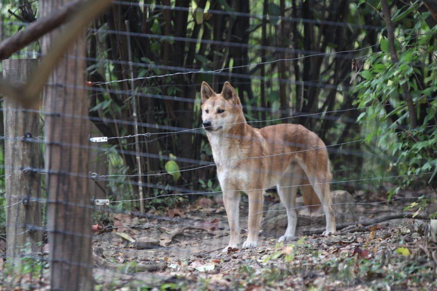 A dingo, an animal new to the zoo, looks off into the distance.