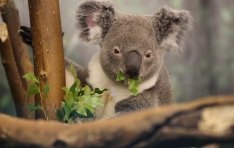 A koala, who is at the zoo on a special visit, enjoys a eucalyptus snack.